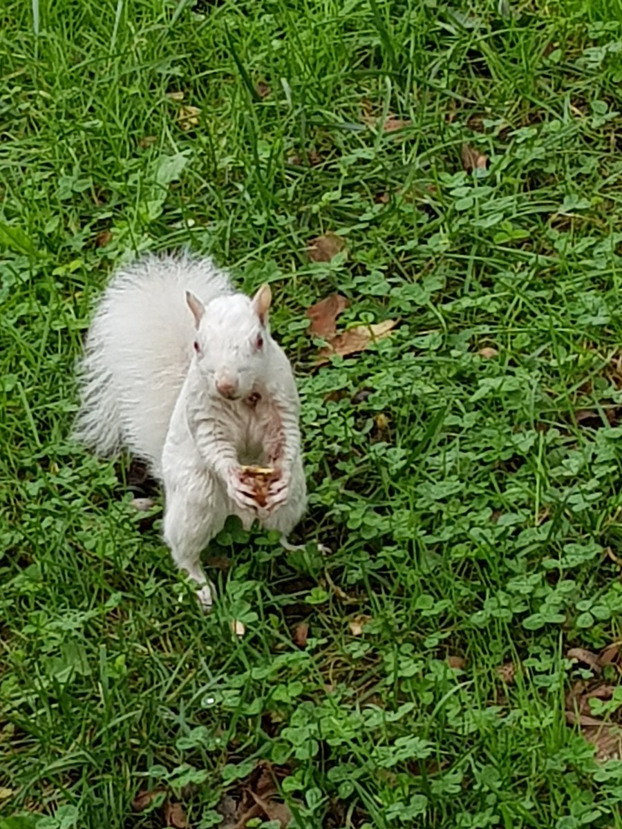 Albino squirrel spotted outside the American history museum in DC yesterday
