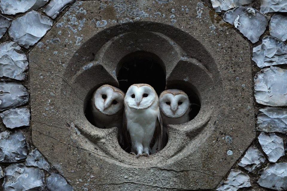 Owl Trinity 😉, Quatrefoil, Fulmodeston, Norfolk, UK. ©Richard Brooks