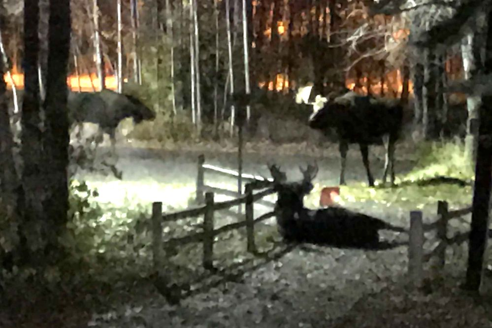 Bull moose are in rut across Southcentral Alaska. One brutal fight took place in the middle of the city. https://t.co/XQgAgNlBdc