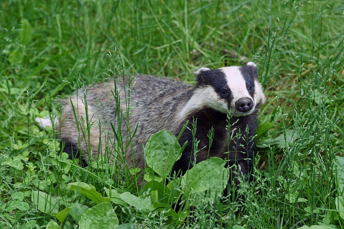 Bornean Ferret-Badger