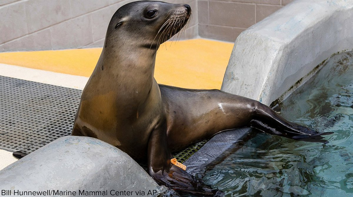 More than 220 California sea lions rescued this year have been diagnosed with potentially fatal bacterial infection, according to the Bay Area's Marine Mammal Center. https://t.co/hfh5Mjarea