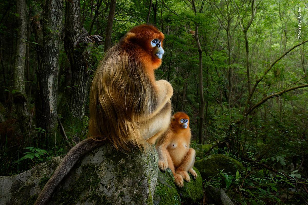 Stunning portrait of blue-faced golden monkeys wins Wildlife Photographer of the Year 2018 https://t.co/LVhVvK47hz  #WPY54