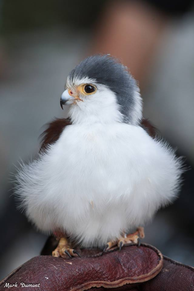 Though its the smallest raptor in Africa, the African pygmy falcon is a powerful predator. Preferring to hunt early to avoid the midday heat, the falcon perches & searches the ground for insects & small animals. With a swoop, it snatches up prey in its talons. #BirdsAreAwesome