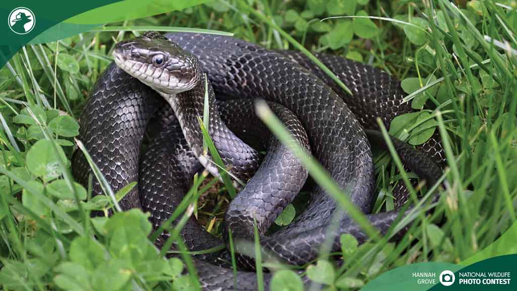 Coiled in a patch of clover, an eastern rat snake poses no threat to gardeners and helps control rodent pests. Learn more about helpful snake species: bit.ly/2pYlbWP