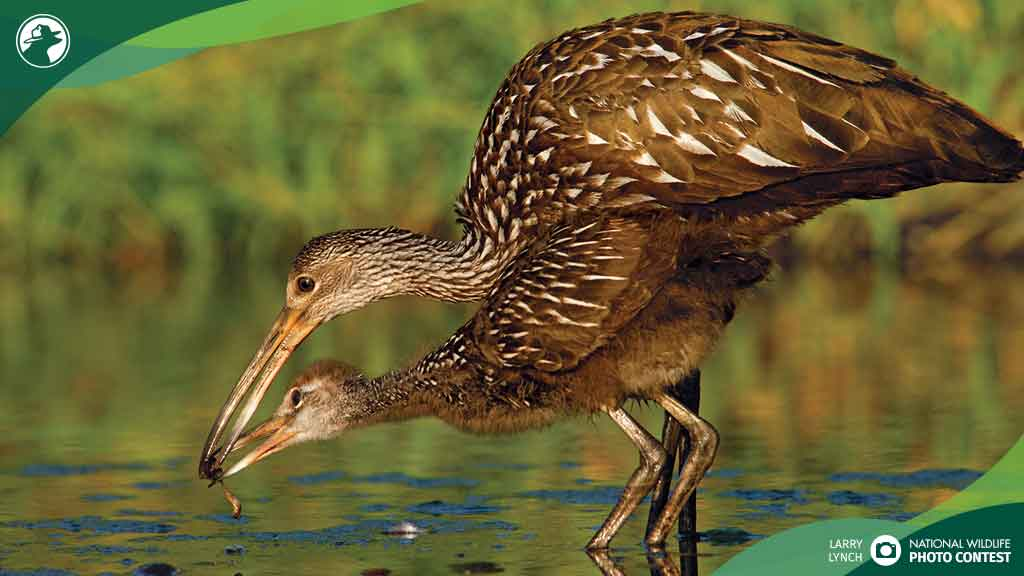 Limpkins feed near Floridas Myakka River, which flooded during Hurricane Irma. Learn about natural ways to reduce damage from storm surge, floods and wind, such as living shorelines, marsh renewal, & coastal restoration: bit.ly/2NsCc9O