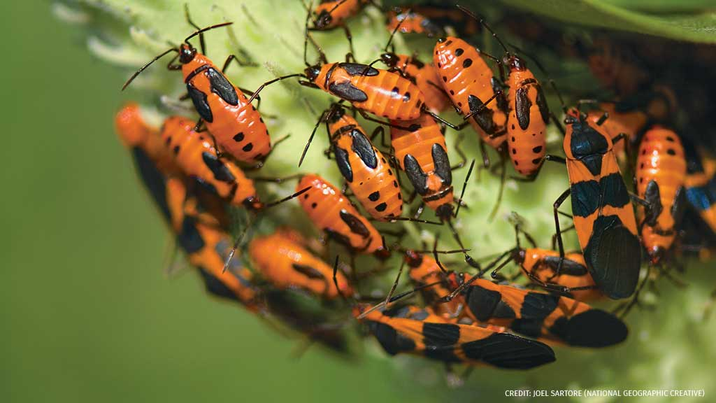 Large milkweed bugs are protected by bright orange-and-black coloration, which predators associate with nasty-tasting chemicals in the plants they eat. Learn more the variety of insects that migrate hundreds, or thousands, of miles to new habitats: bit.ly/2y1TNuD