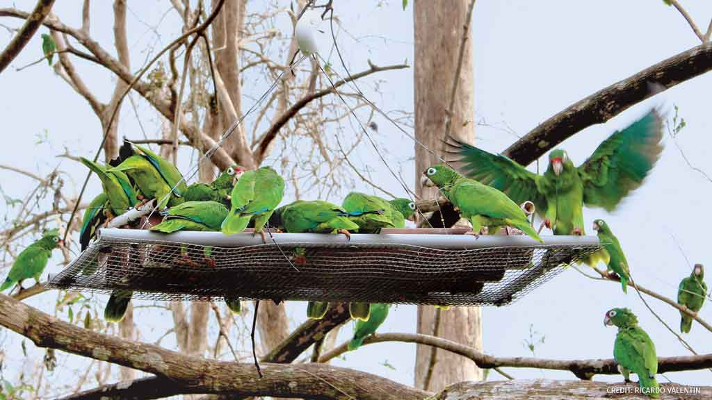 In the aftermath of Hurricane Irma, rare Puerto Rican parrots flocked to a feeding station at the Rio Abajo aviary. Learn more about the impact of hurricanes on wildlife: bit.ly/2NsCc9O