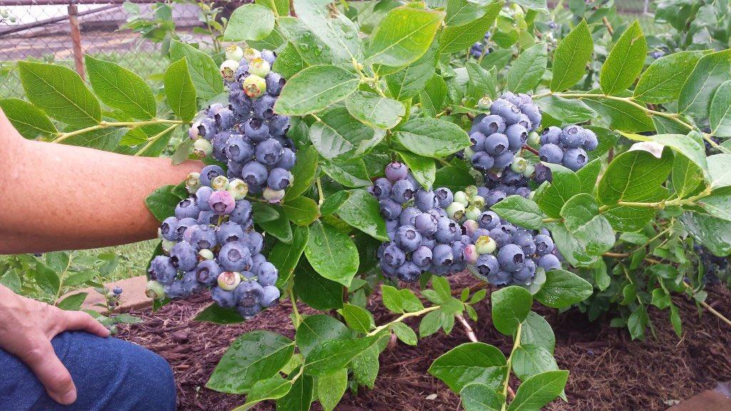 Blueberry Plants Nursery Na Twitteru