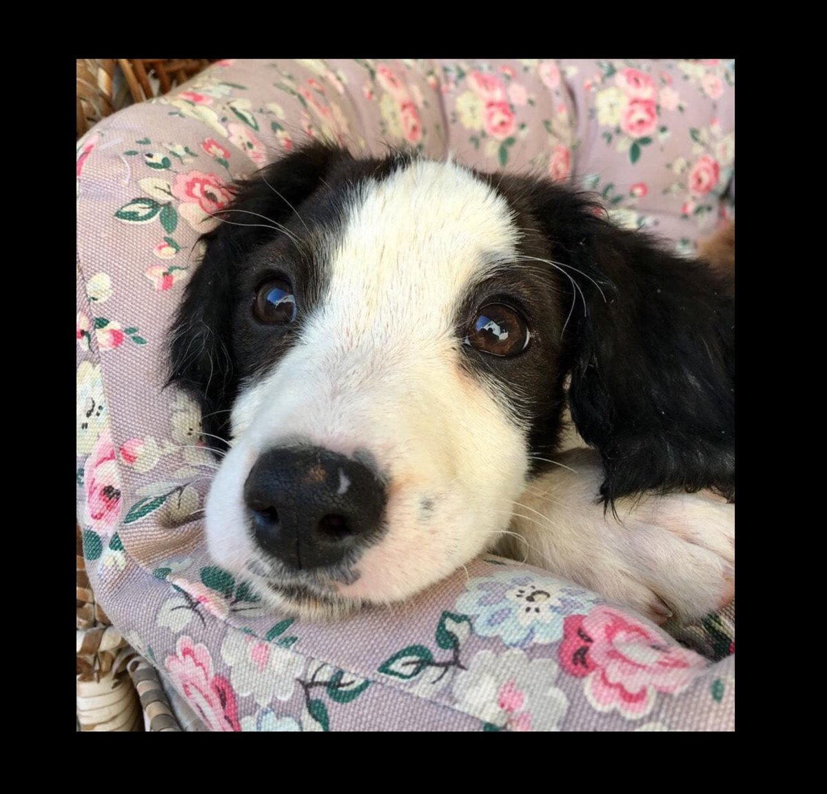 Stray pup Domino is waiting patiently for a special human &amp; love in a forever home. Could you love this little sweetheart?  #ADOPT in #UK #Germany #Holland #Zante #puppylove #cutedogs #AdoptDontShop<br>http://pic.twitter.com/HA1eaodhI2