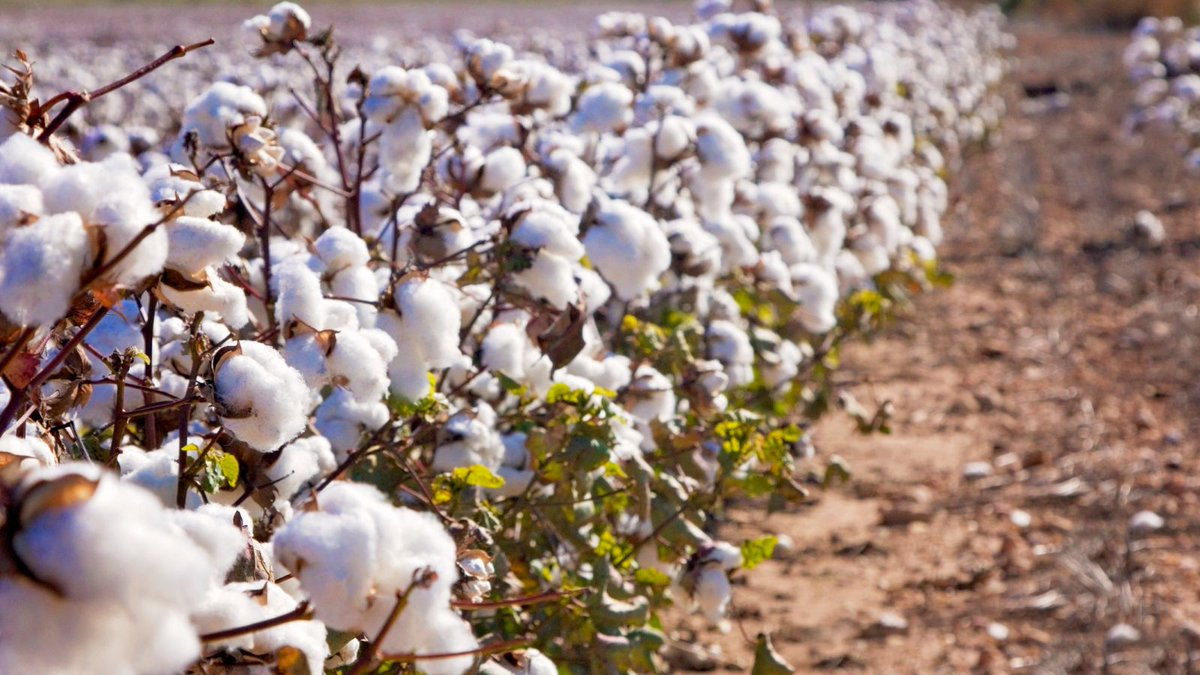 USDA approves edible cotton, which apparently tastes like hummus trib.al/OcLzQuk
