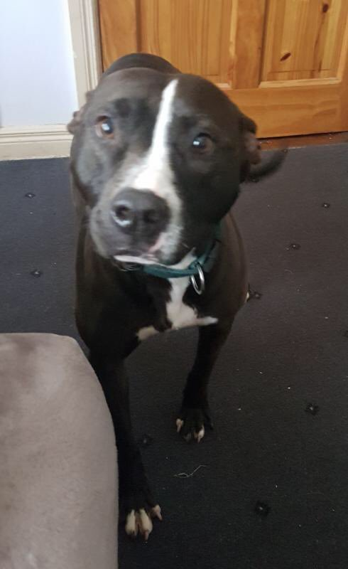 4yo Pitbull X, Ivy, has come into our care after spending her last 5 months in a pound, waiting to be chosen. It may be her breed, it may be her colour, but for the lucky family who adopt her all these will fade into insignificance. She is such a sweet &amp; kind dog  <br>http://pic.twitter.com/4hFTGMGlTA
