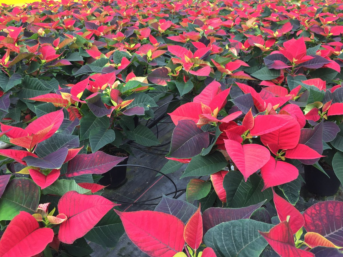 Hills Plants On Twitter Our Poinsettias Are Starting To Turn Red
