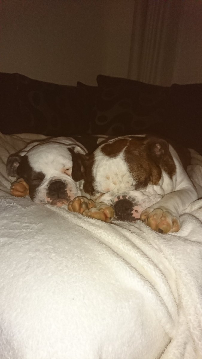 The struggle to get up in the morning is hard even for the dogs #englishbulldog #oldtymebulldog<br>http://pic.twitter.com/Xo0drHbpa4