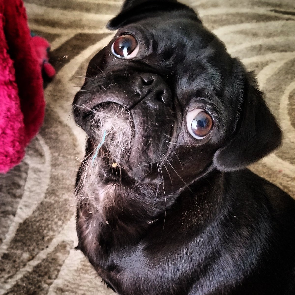 What? Me not chewing nothing.  #pug #pugs #dogsoftwitter #dog #dogs <br>http://pic.twitter.com/uJsU629DuJ