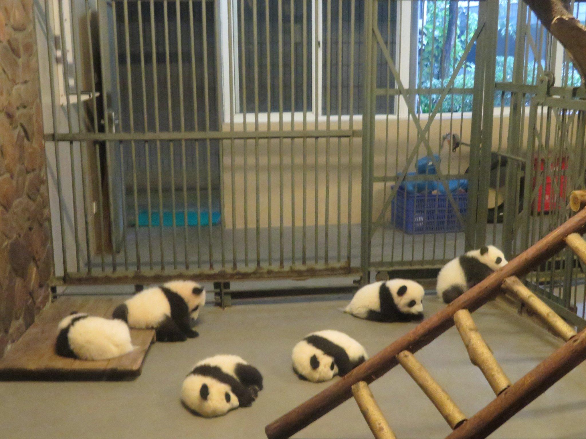 今朝の赤ちゃんパンダたち。 成都パンダ基地2日目にして疲れ切り、雨を理由に休憩中です…
