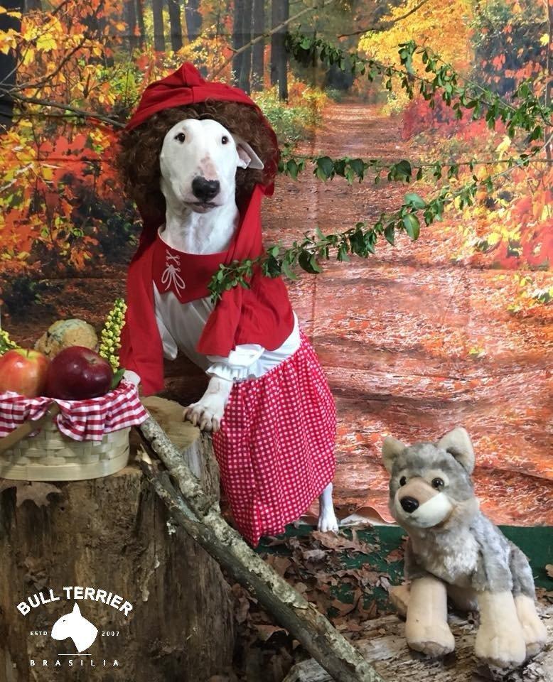 Little Red Riding Hood Chapeuzinho vermelho  #bullterrierbrasilia #bullterrier #bull #bully #bullies #englishbullterrier #bulls #terrier #minibull #dogsoftwitter #dogsofinstagram #DogsofTwittter #dogstagram #DogsLover #dogsofinsta #dogsarefamily  #dogsarelove #petstagram #Pets<br>http://pic.twitter.com/wnTjdpd0fT