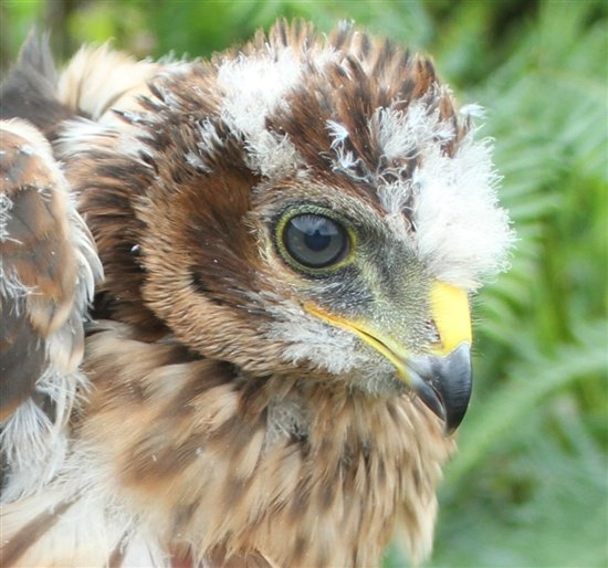The Govts hen Harrier Action Plan is a sham. How many more HHs do we have to lose before Ministers set aside vested interests & impose sanctions on grouse shooting industry? …ptorpersecutionscotland.wordpress.com/2018/10/18/hen… #endwildlifecrime