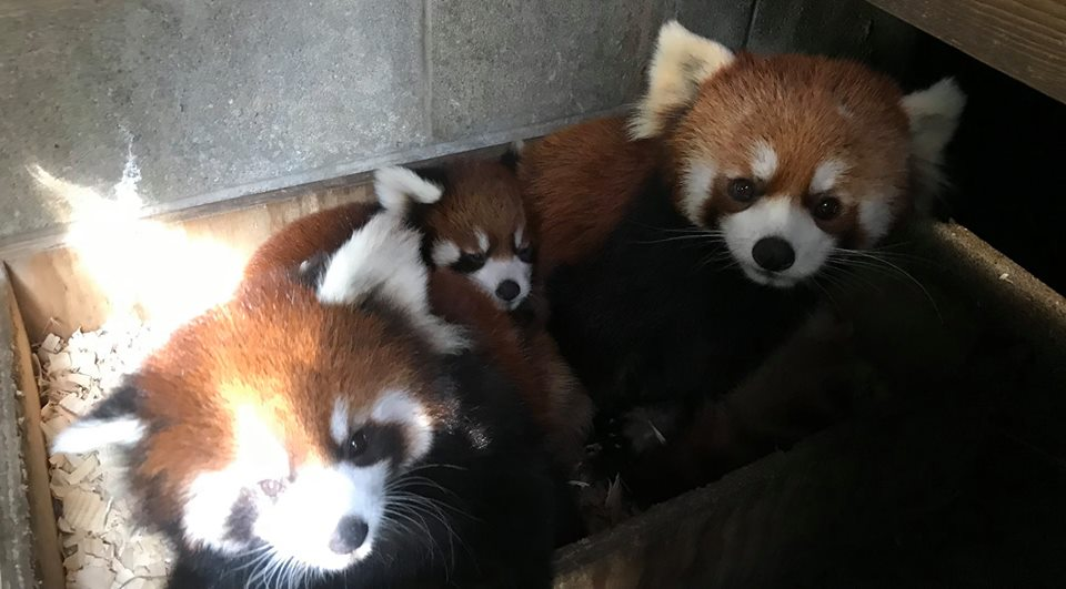 Kola was spotted cuddling with his twins, Linus and Kora. It is unusual for a male red panda to interact with their young, but first-time dad, Kola, is one of a kind.