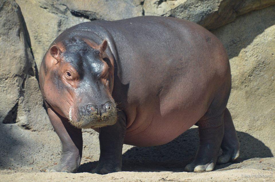 Fiona weighs 948 pounds! #TeamFiona