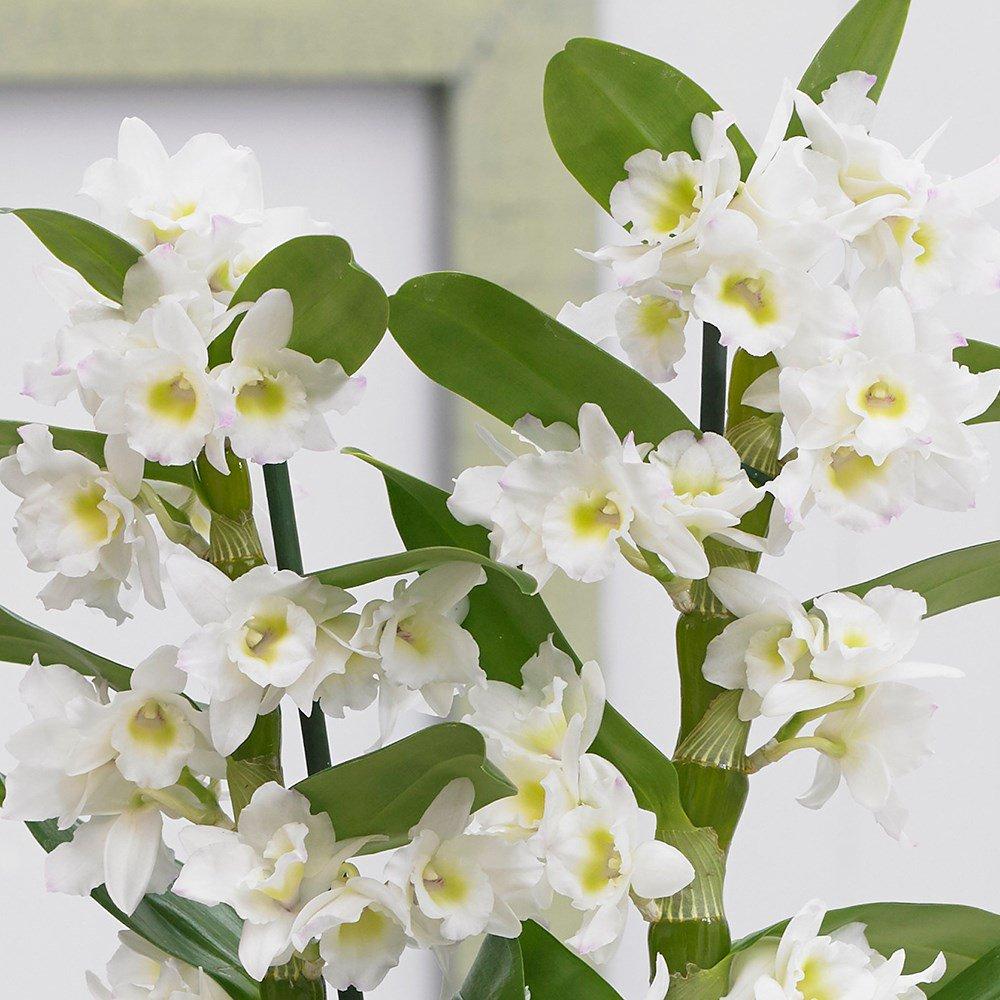 курицы орхидея с мелкими цветами название страдал