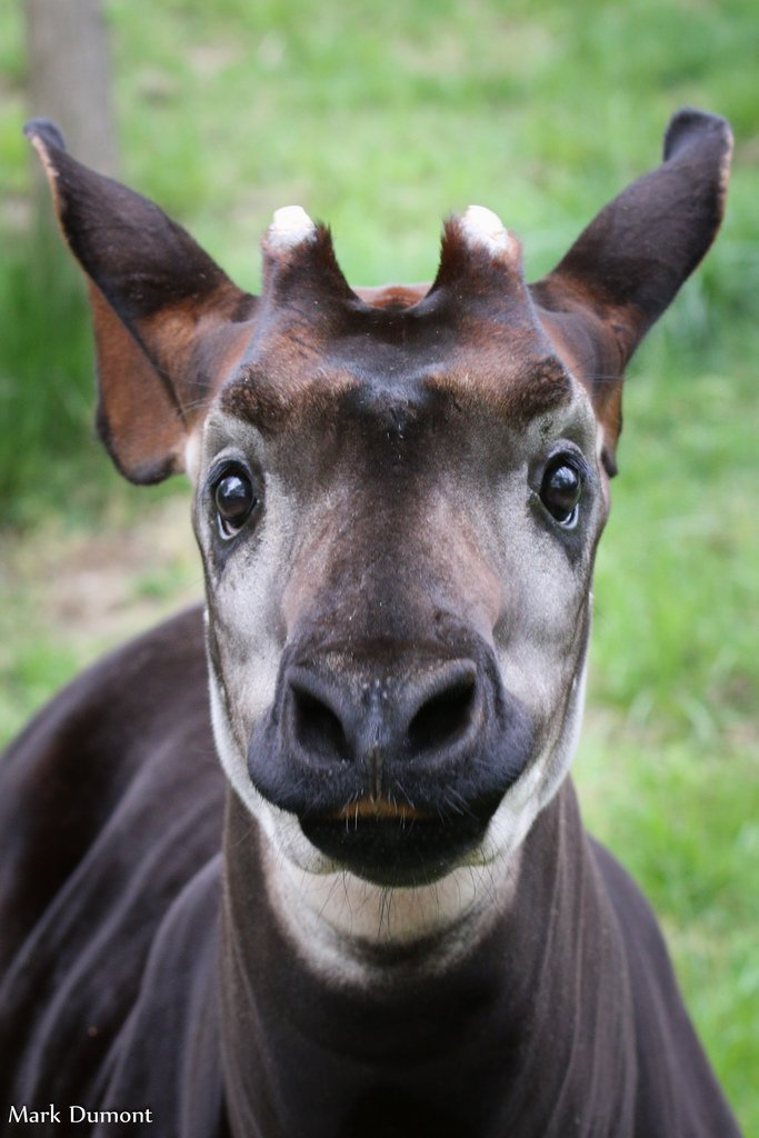 The Cincinnati Zoo supports the efforts of the Okapi Conservation Project, a dedicated community of individuals working in the Okapi Wildlife Reserve to protect wildlife. ow.ly/KNmn30mhEhz #WorldOkapiDay