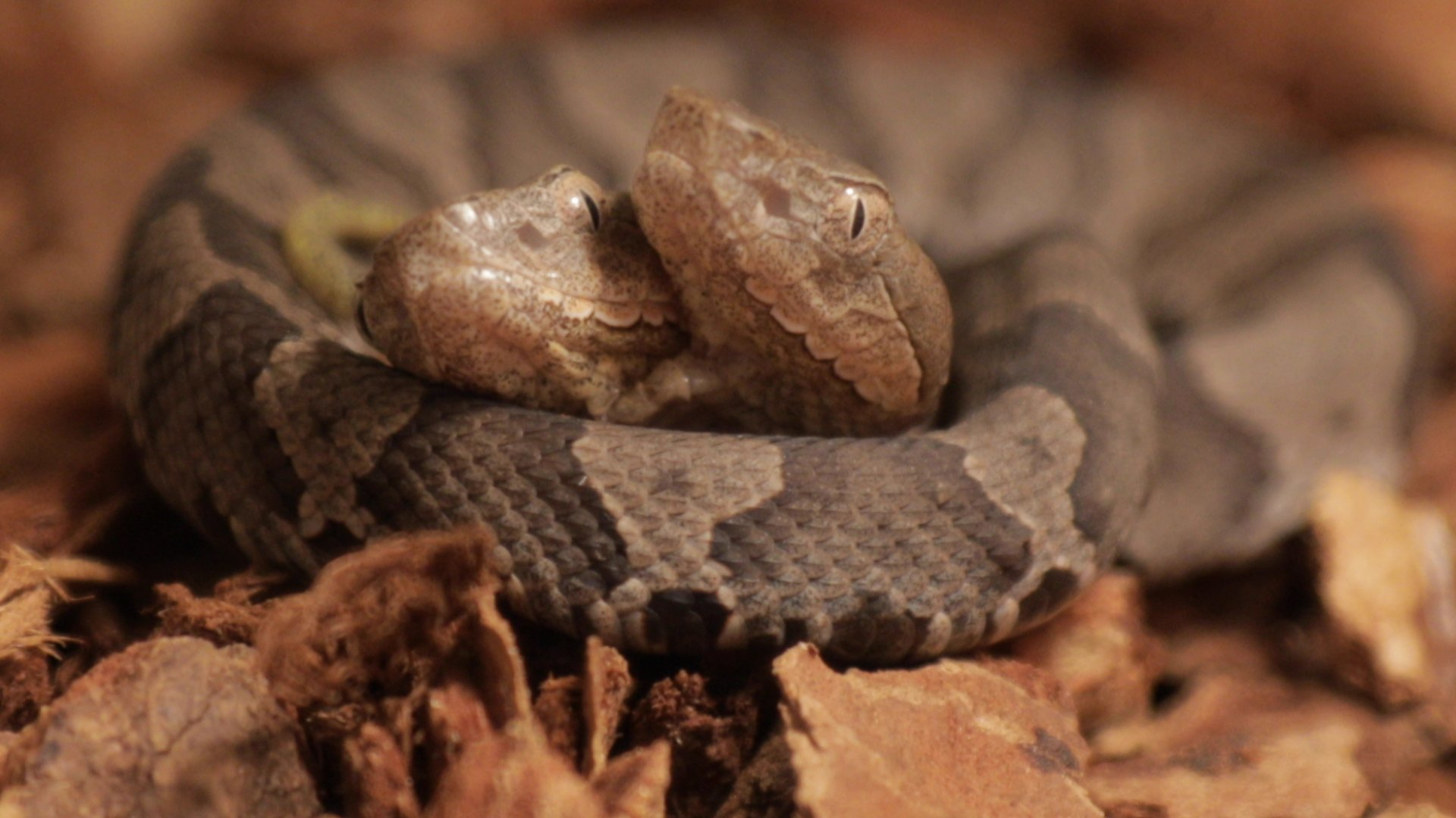 Rare two-headed copperhead snake on display beginning tomorrow at the Salato Wildlife Center in Frankfort, KY https://t.co/UNcP8f5y0Q
