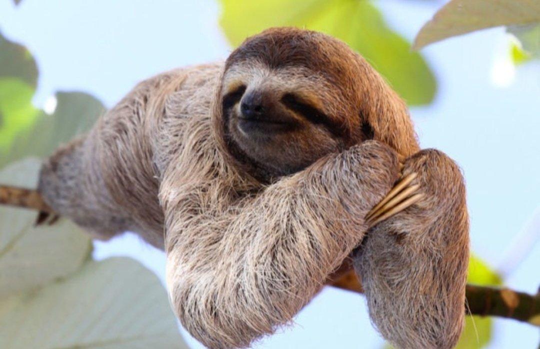 Надписью родной, картинка ленивец смешная