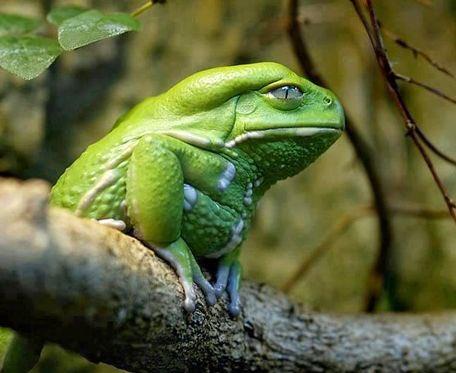 蛙は体全体で水を補給するけど「ソバージュネコメガエル」は口から水を飲むよ。 体の乾燥を防ぐ油状の分泌物を塗ってるから水を弾いちゃうんだって。 で、この油がデルモルフィンというモルヒネの40倍の超強力な鎮痛作用を持ってて、競走馬のドーピングに使われた事件も。人間が舐めるのも違法で禁止!