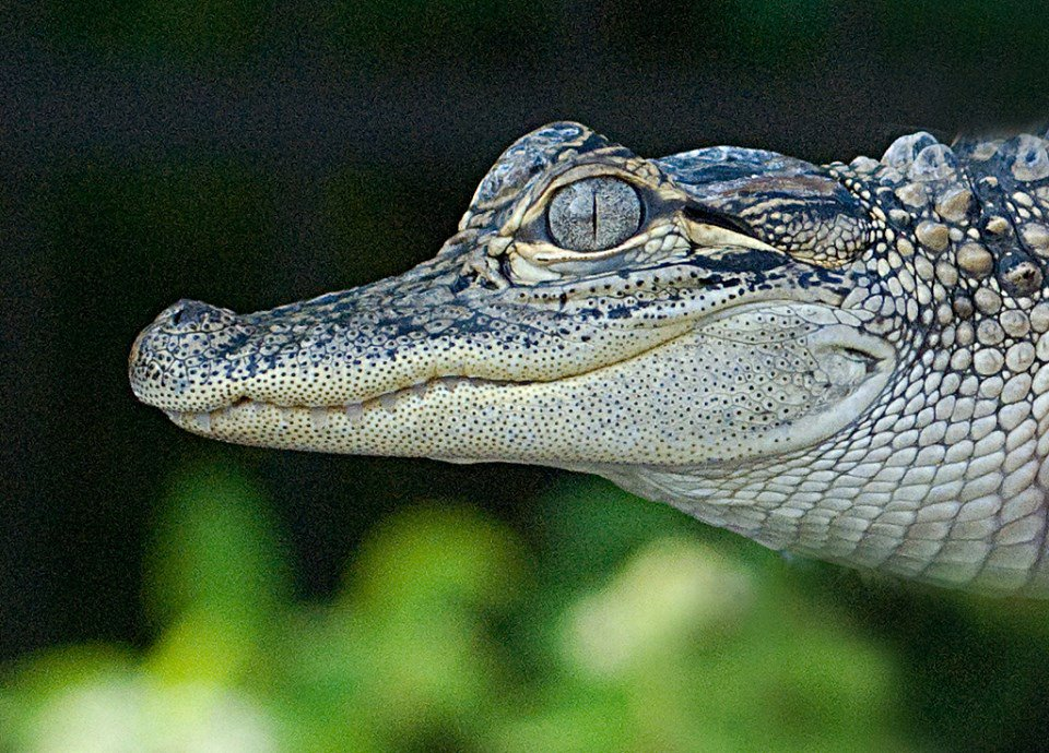 Today is National #ReptileAwarenessDay! Reptiles are animals that are cold-blooded & most lay eggs & their skin is covered with hard, dry scales. There are more than 10k species of reptiles. They can be found on every continent except for Antarctica!