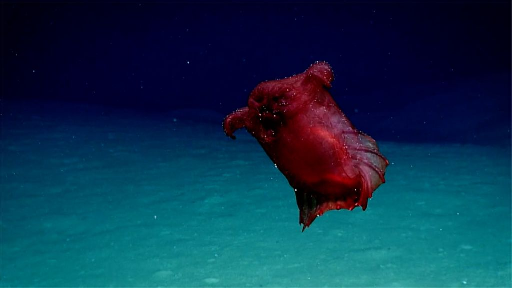 """Mesmerizing deep-sea """"headless chicken monster"""" filmed in the Southern Ocean for the first time https://t.co/GF0ZiICgry"""