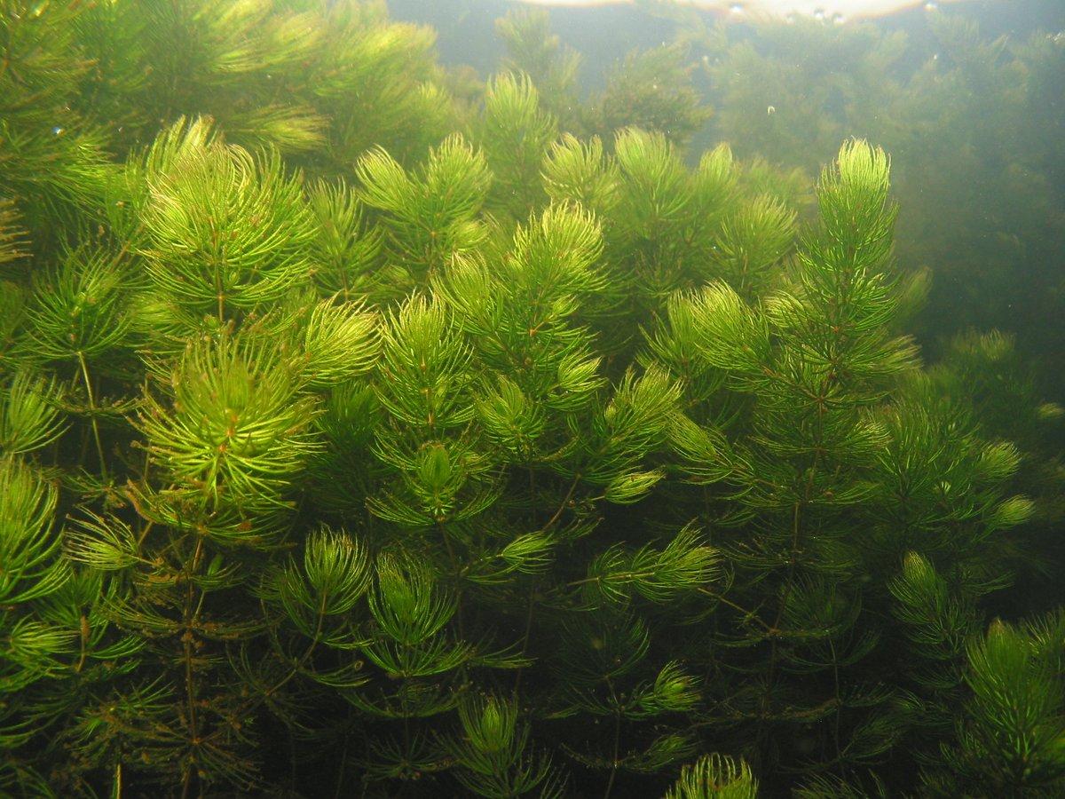 это пресноводные водоросли названия и фото днём медика