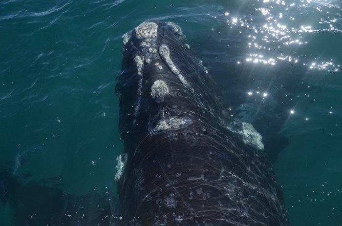 El momento previo a una gran foto, es otra excelente foto. 📷 Camila Hernandez #avistaje #whalewatch #NaturalezaSinLímites #Chubut #Península #Patagonia #SouthernRightWhale #momentopirámides #turismo #viajes #Argentina