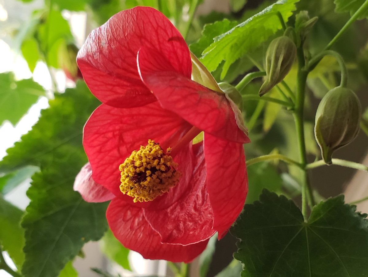Gardenopus On Twitter A Spell On You Abutilon Flowering Maple