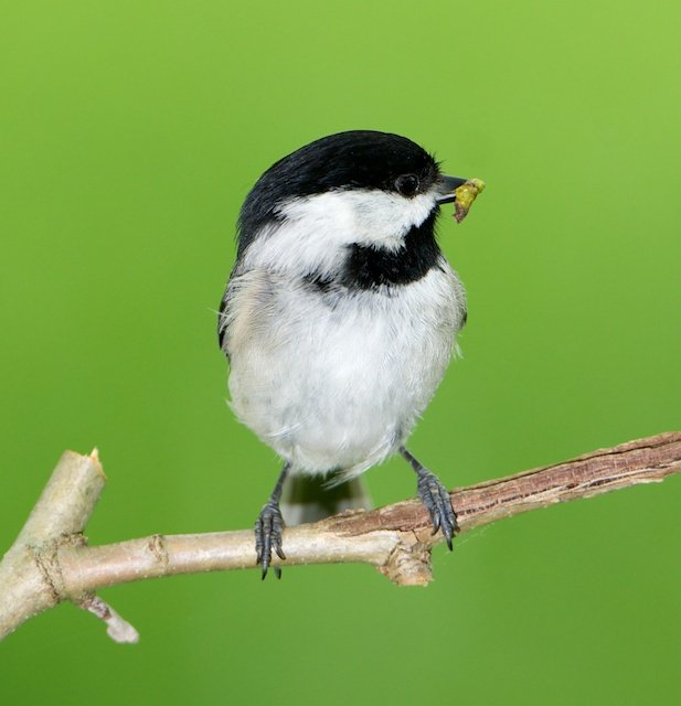 Check out our new paper in @PNASNews! With help from DC-area homeowners we found that your yard needs at least 70% #nativeplant biomass to support insectivorous #birds like chickadees. #urbanecology #ornithology #nativeplants with @PeterPMarra & @SMBC pnas.org/content/early/…