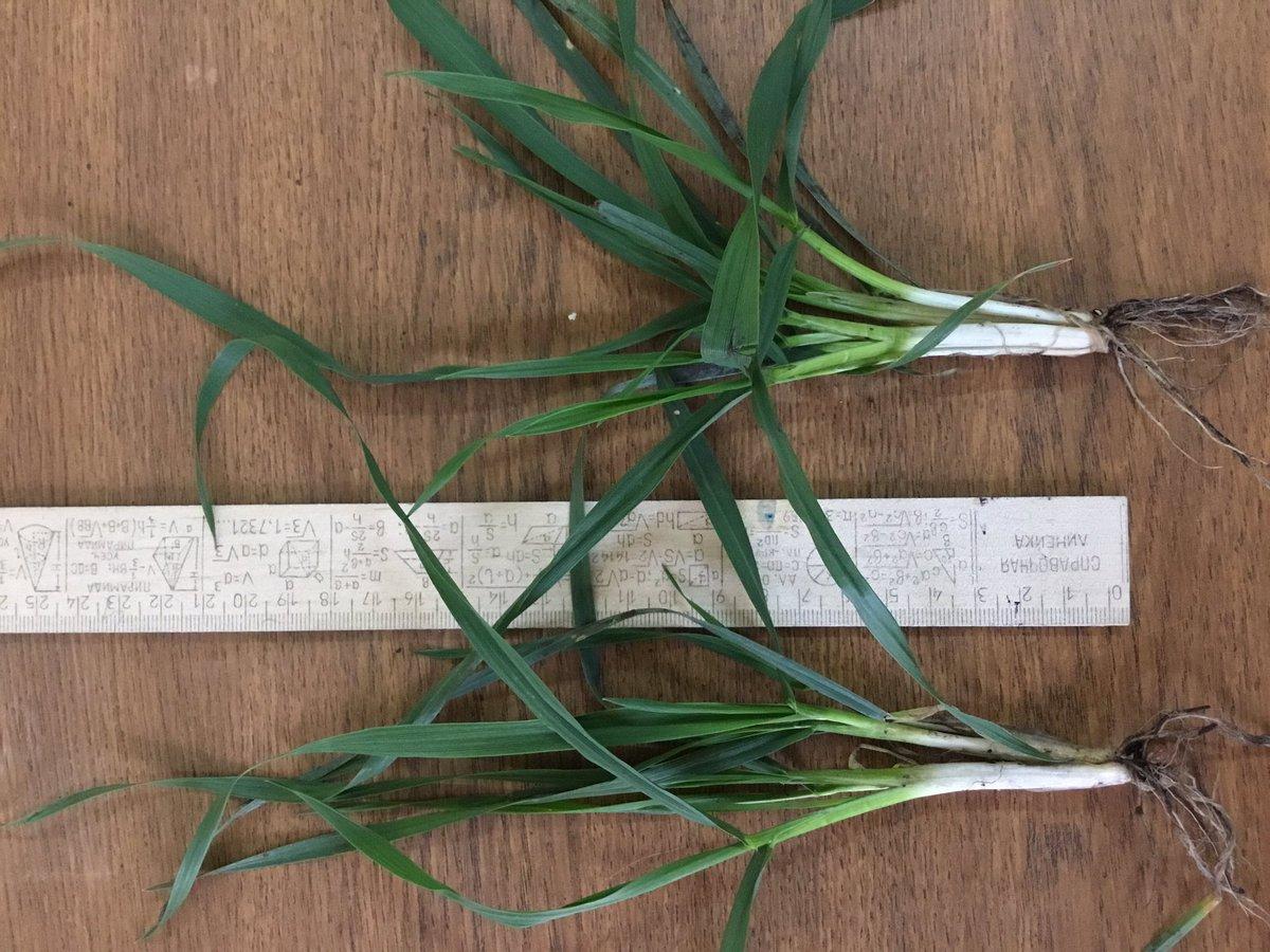 можно фото междоузлие пшеницы можно