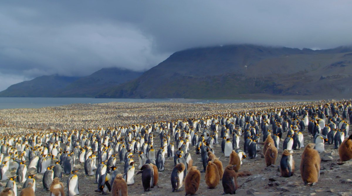 Tomorrow is #PenguinAwarenessDay! Get ready to celebrate by watching how king penguins converge on a South Georgia beach to raise the next generation
