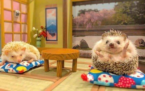 Welcome to Tokyo's newest hedgehog café.