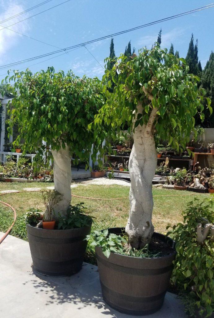 Wikibonsai Com On Twitter Old Ficus Benjamina Bonsai Tree Sale Https T Co 0tudtltf7f Juniper Juniperusbrevifolia Juniperusphoenicea Https T Co Qyzbqwrpmg