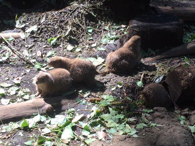 おはようございます(・-・*) 上野動物園開園しました。  #オグロプレーリードッグ