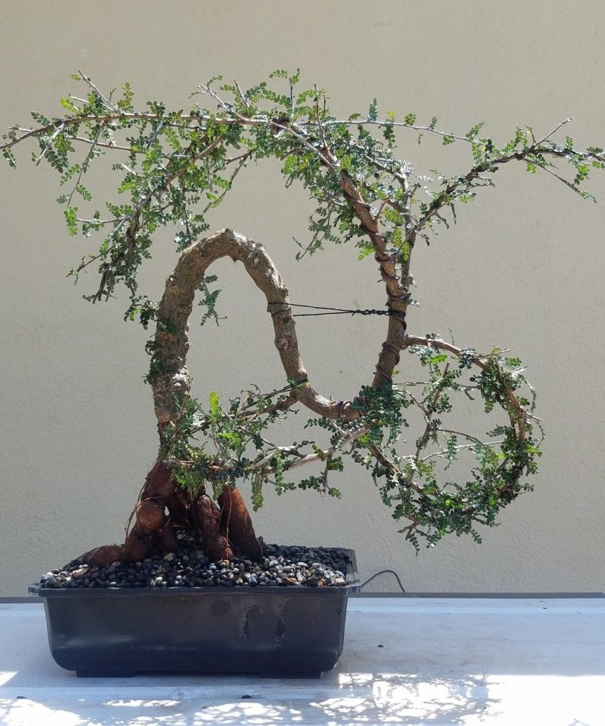 Hobbieswiki Com On Twitter Old Operculicarya Decaryi Bonsai Tree Sale Https T Co 4txamopp83 Juniper Juniperusbrevifolia Juniperusphoenicea Treesale Https T Co Ene08okb2t