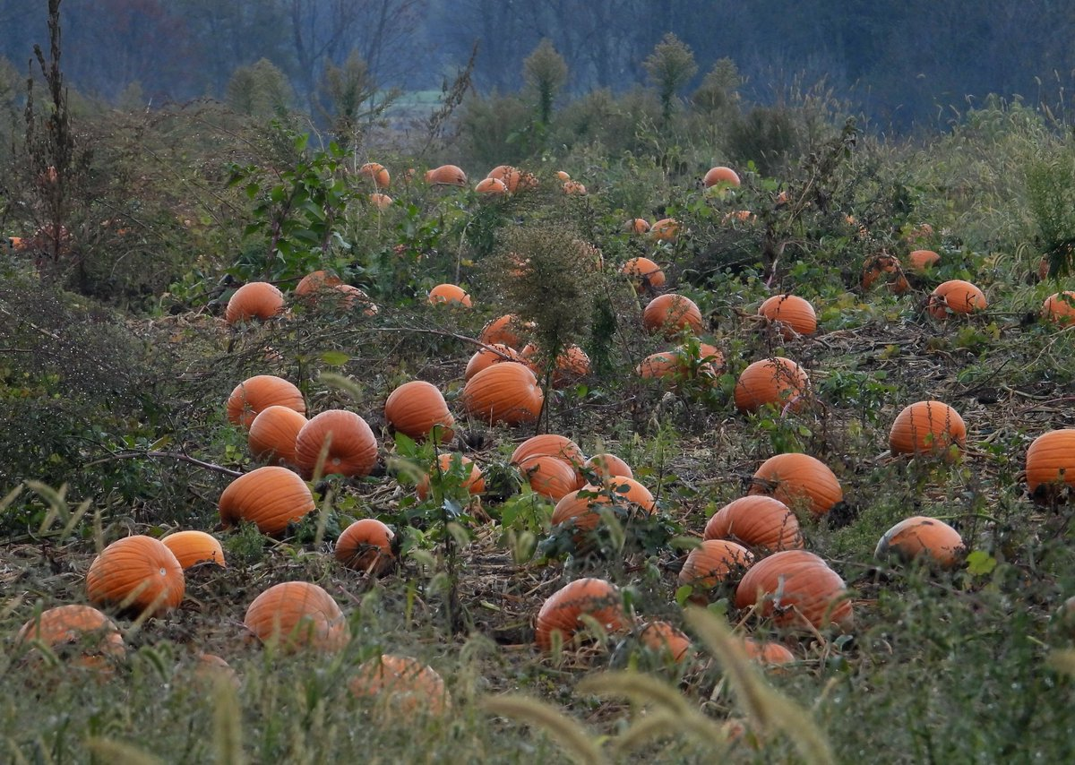Pumpkin Patch in Macedon (photo)