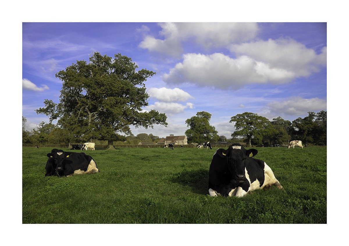 Happy cows in the afternoon sunshine. #cheddar #chef #Somerset