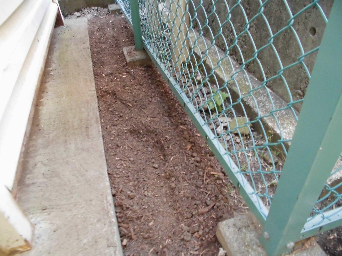 test ツイッターメディア - 11/1、ポット蒔きスナップえんどうが発芽して緑色が濃くなってきました。植え場所を探して浄化槽と自転車置き場の間の僅かなスペースにめぼしをつけ、草を刈り石をどけて鍬を入れておきました。腐葉土とボカシ、牡蠣殻石灰も入れて定植待ちです。 #ダイソー ¥50円種、無駄にならなきゃいいけど~。 ?? https://t.co/VCsEQazUmV