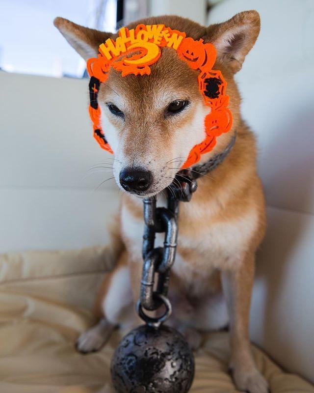 test ツイッターメディア - また #ハロウィン アイテムが増えた… Halloween dog ?? . . #halloweencostume #コスプレ犬 #shiba500 #instashiba #shibastagram #いぬすたぐらむ #仮装犬 #セリア https://t.co/PgrYrEnGU2 https://t.co/67IghStahB