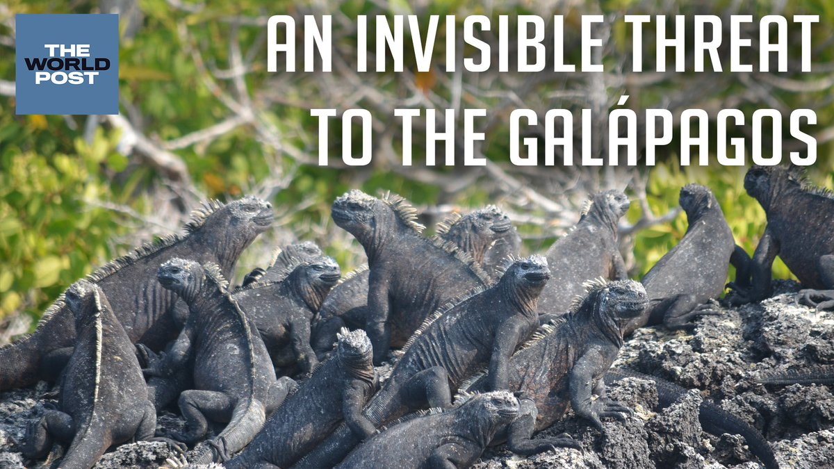 Image for the Tweet beginning: Warming waters in the Galápagos