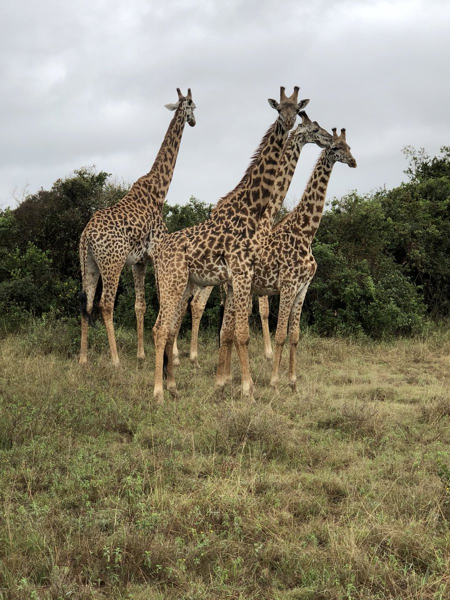 Giraffes in the wild at Nairobi National Park. Here they say #magicalkenya