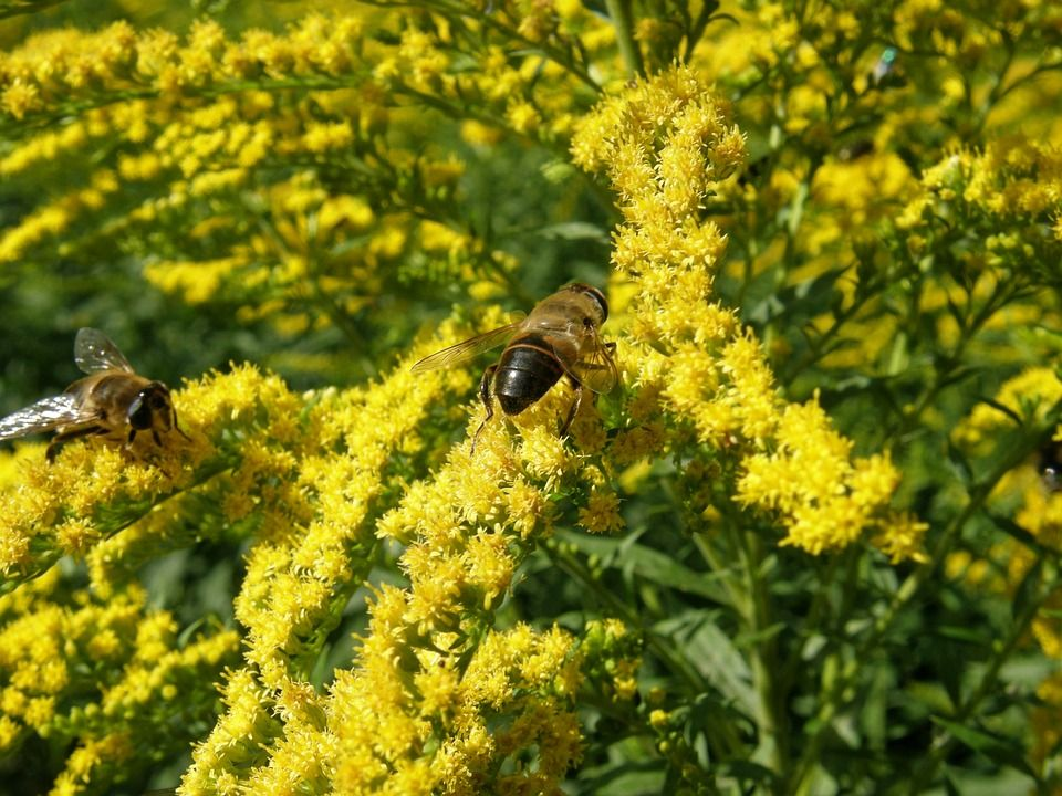 ... state #flower of the U.S. states of #Kentucky (adopted 1926) and #Nebraska (adopted 1895)? Our lovely #Solidago 'Sweety' is #LookingGood and ready to be ...