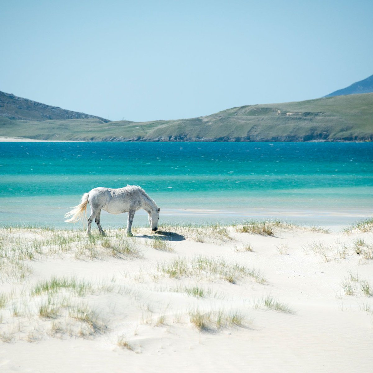 Twitter पर Alexander Verbeek Beautiful So Unique To Have Wild Horses On The Beach