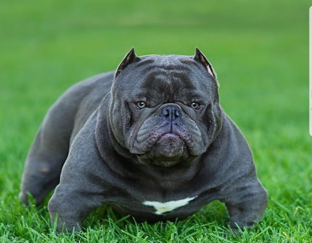 Pibbles And Cream Howlfest On Twitter I Love Pitbulls And The Bully Breed As Much As Possible But I M Definitely Not Sure Why People Keep Breeding These Weird Mini Squash Gremlins And