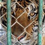 Schrecklich: China will den Handel mit Tigerknochen und Nashornhorn von gezüchteten Tigern und Nashörnern erlauben. Wir fordern: China muss sich an das Verbot halten! #StoppWilderei